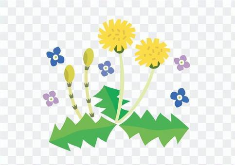 春天的花朵蒲公英