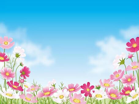 波斯菊領域和藍藍的天空背景與雲01