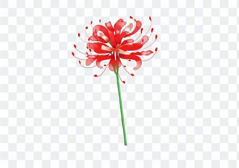 單簇孤挺花的插圖