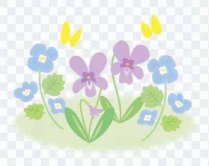 紫罗兰和山毛榉crenata