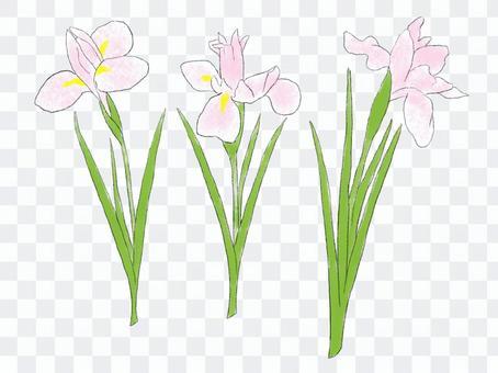3朵鳶尾花粉紅色