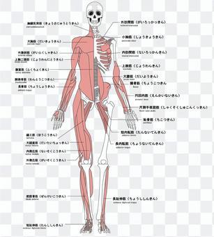 人的肌肉名稱與前面的英語