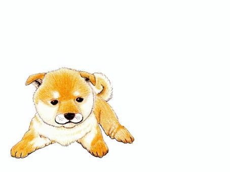 柴犬Petanko -1