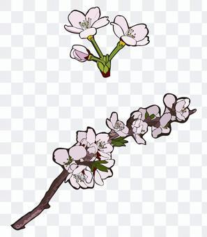 櫻桃樹枝和鮮花