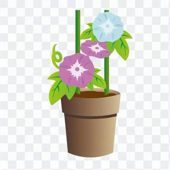 Morning glory potted plant