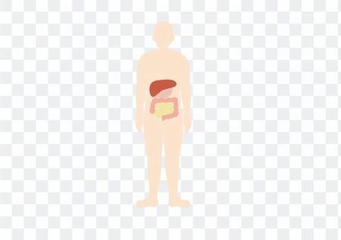 人體全身臓器消化管