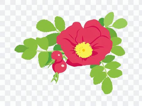 Hamanus花
