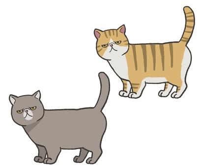 異國短毛貓