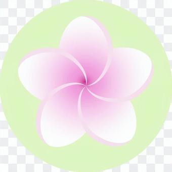 粉紅色的雞蛋花