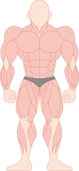 Human muscle part type Front