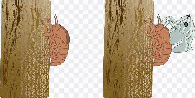 セミ 抜け殻 脱皮 昆虫 夏