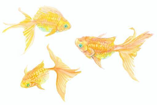 【手寫】金魚(3只)
