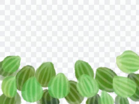 西瓜peperomea