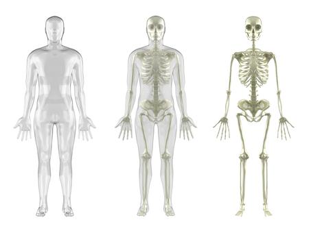 Human skeleton man