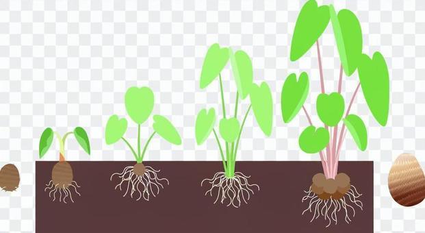 芋頭的生長