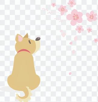一只喜欢樱花的狗