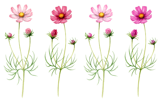 4 analog watercolor cosmos flower branches