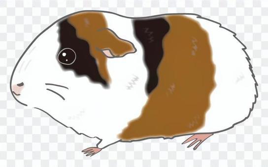 Guinea Pig (Trio)