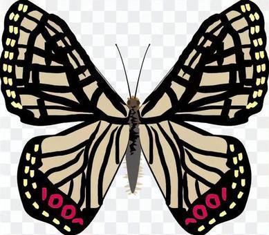 アカボシゴマダラ タテハチョウ科 昆虫