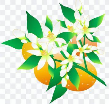 橘子和橘子