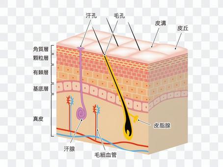 皮膚・断面図・組織図・毛根・毛穴・説明付