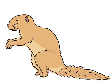 海角地鬆鼠