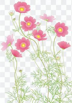 波斯菊_深粉紅色