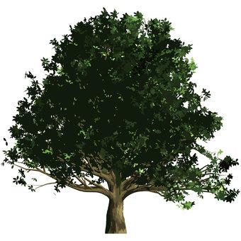 Oak tree 3