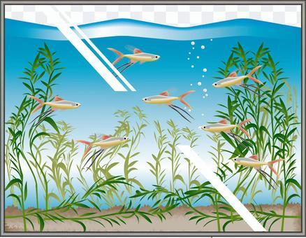 新幾內亞彩虹升值魚缸