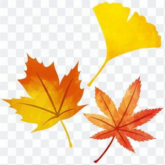 秋葉/楓葉,楓葉,銀杏