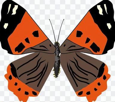 紅海軍上將,Nymphalidae昆蟲