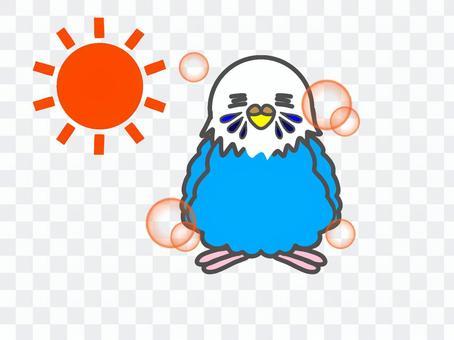 Budgerigar sun