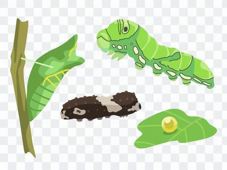 Animal_insect_swallowtail幼蟲_無線