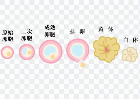 卵泡的變化