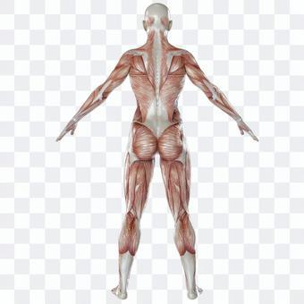 Skeletal muscle female back