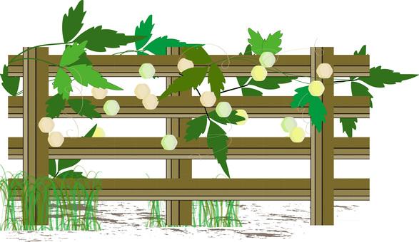 Balloon vine on the fence