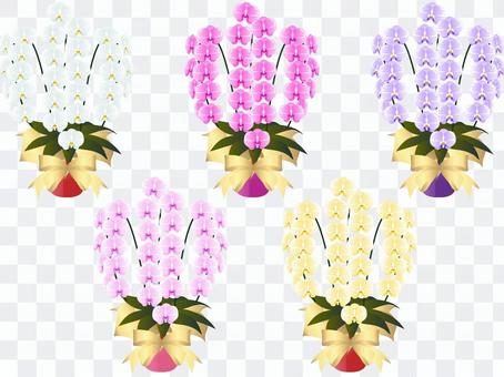 Moth orchid potted plant set