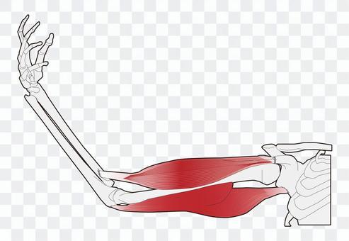 手臂肌肉 - 伸展