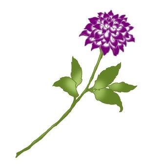 紫色大麗花
