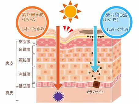 紫外線 肌 影響