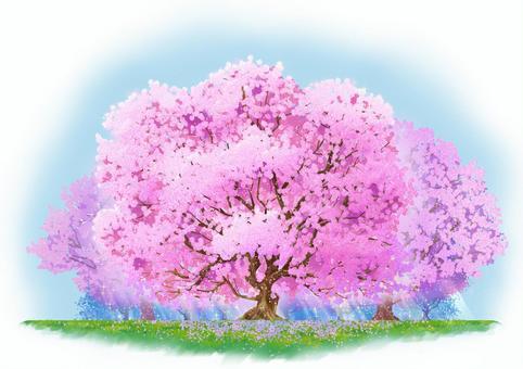 自然圖-櫻花群盛開