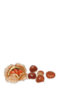 Chestnut illustration postcard