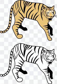 Tiger tiger carnivorous menacing barking