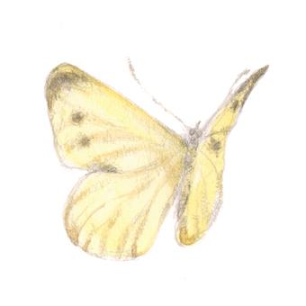 蝴蝶1  - 黃色的蝴蝶