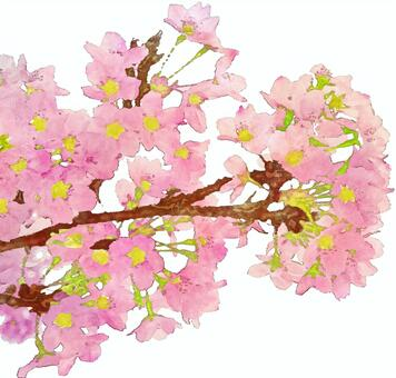 Cherry blossom watercolor painting (astringent)