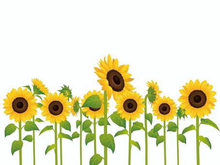 Summer flower · Sunflower (sunflower) multiple 01