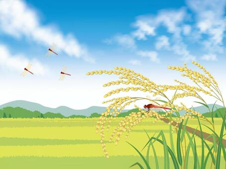 Blue sky, rice paddies and ear rice