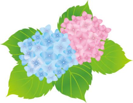 繡球藍色和粉紅色