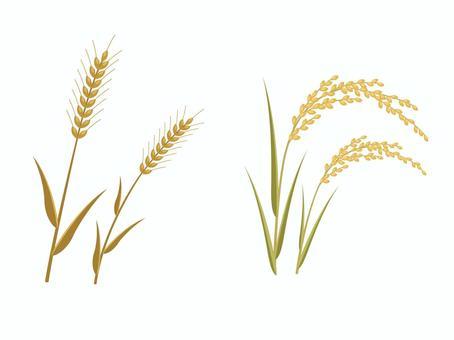 小麥和大米