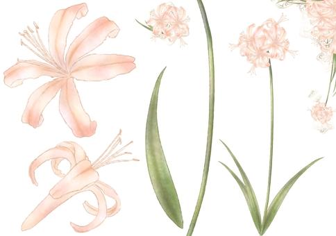 Diamond lily illustration original set
